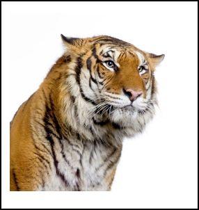老虎的自述